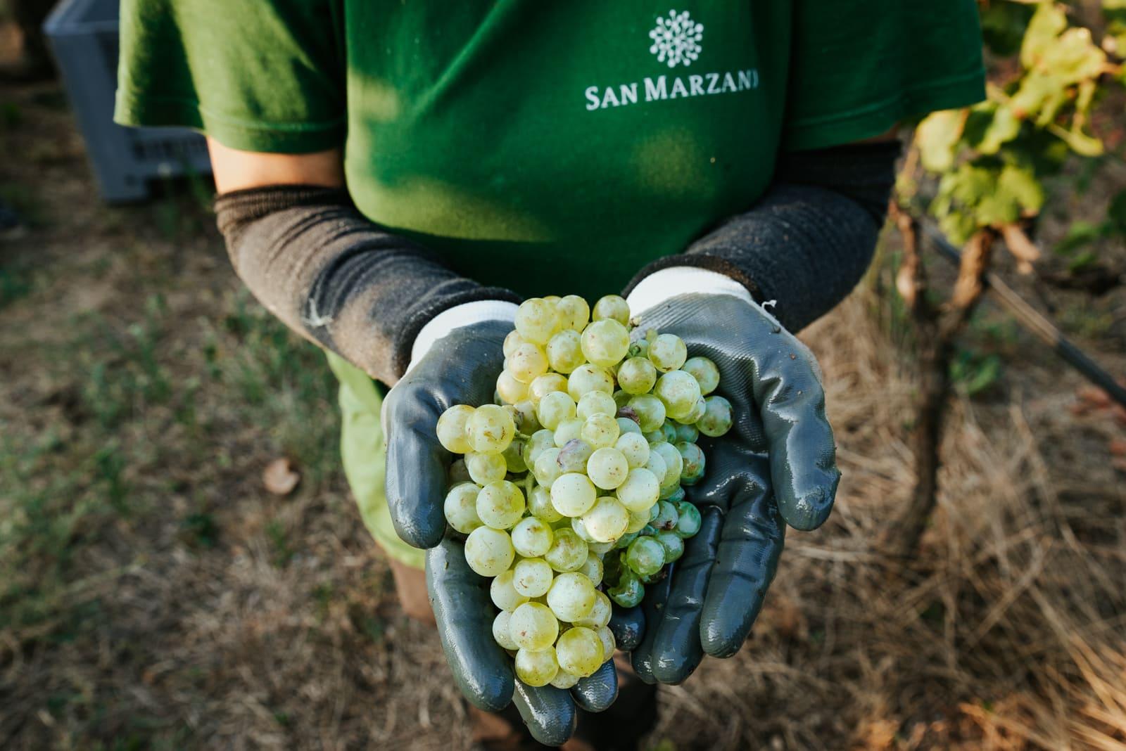 Grape harvest 2019: an overview